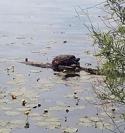 A snapping turtle near the TART Trail. Photo by Keli Hagan.