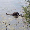 A snapping turtle near the TART Trail. Photo by Keli Hagan.