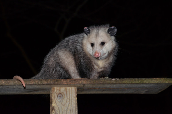 A night visitor to the sunflower feeder on Crystal Lake near Frankfort. Photo by Martha Mollema.