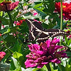 A giant swallowtail butterfly on a flower in Benzonia. Photo by Judy Ratkos.
