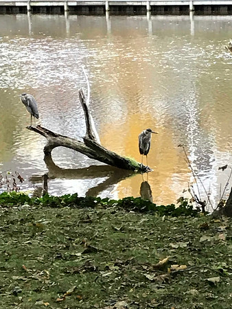 Blue Heron's perch along the Boardman River. Photo by Priscilla Ware.
