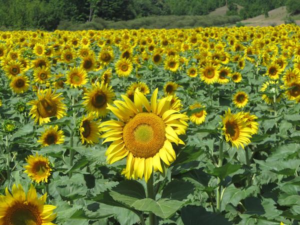 Sunflowers follow the sun on an M-204 farm. Photo by RJ Loeher.