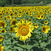 Sunflowers follow the sun on an M-204 farm. Photo by RJ Loeher.
