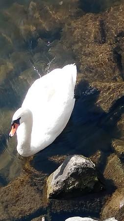 A friendly swan on Boardman Lake. Photo by Keli Hagan.