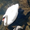 A friendly swan on Boardman Lake. Photo by Keli Hagan.