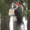 Pileated woodpecker on the feeder in the front yard. Photo by Luise Bolleber.