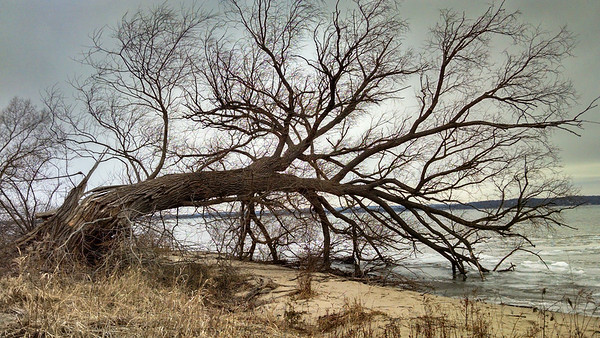 An easy tree to climb in Acme Township. Photo by Tina Reed.