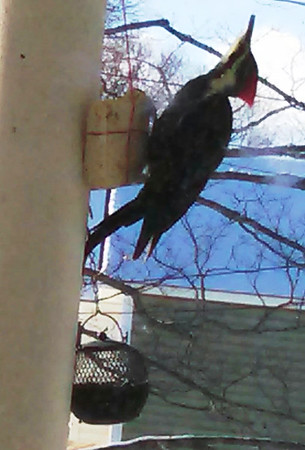 A pileated woodpecker on a front porch in Elk Rapids. Photo by Jennifer Cosier.