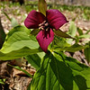The beautiful red trillium --Trillium erectum. Photo by Nicole McCalpin.