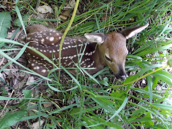 A fawn rests near a Maple City home. Photo by Sharon Baatz.