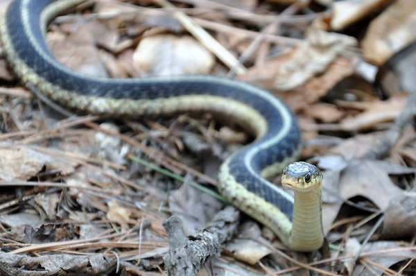 A greeting garter snake. Photo by Heather Spaleny.