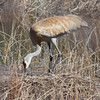 Sandhill crane is spotted near Empire. Photo by Jennifer Grochowalski.