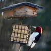 A red-headed woodpecker at the feeder. Photo by George Hermach.