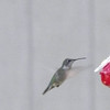 A hummingbird enjoying a feeder at a yard on Torch River. Photo by Sherry Day.