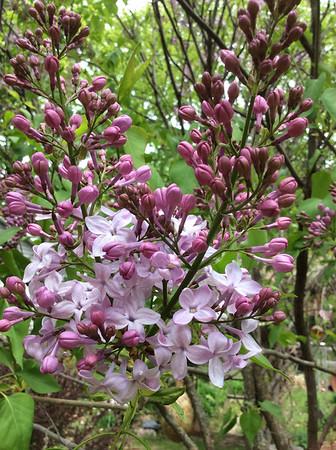 Lilac. Photo by Everett Waisanen.