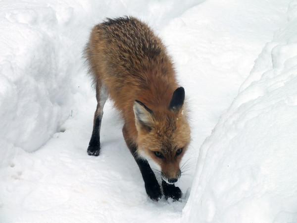 A red fox at the back door in Alden. Photo by Dorothy Cole.