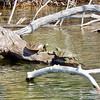 Turtles enjoy the sunshine on Mickey Lake. Photo by Sue Swift.