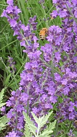 It's time for lavender honey. Photo by Cathy Look.