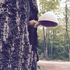 A mushroom the size of a softball grows on a live tree near Cedar. Photo by John Lievense.