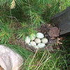 We discovered this nest of mallard duck eggs recently in the yard of our cottage on Green Lake. Mama duck had taken a break, allowing us to catch a glimpse before she covered them with leaves and down. Photo by Kathy Farrell.