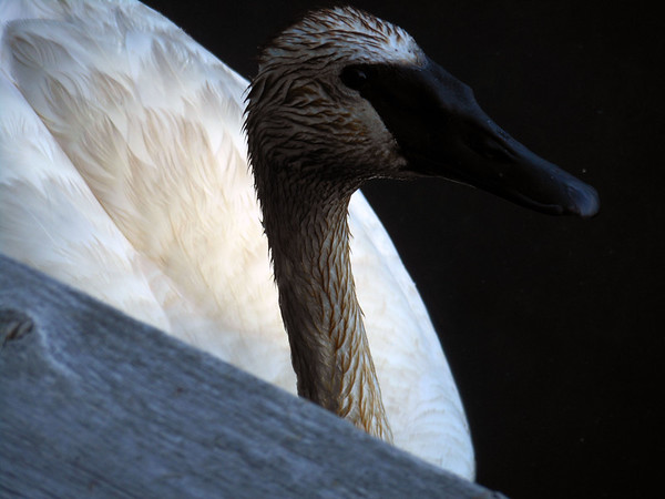 A trumpeter swan on Cedar Cove, Bellaire. Photo by Robert Tosterud.