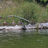 Ducks lined up on a log on a recent kayak trip on the Platte River. Photo by Faye Fitch.