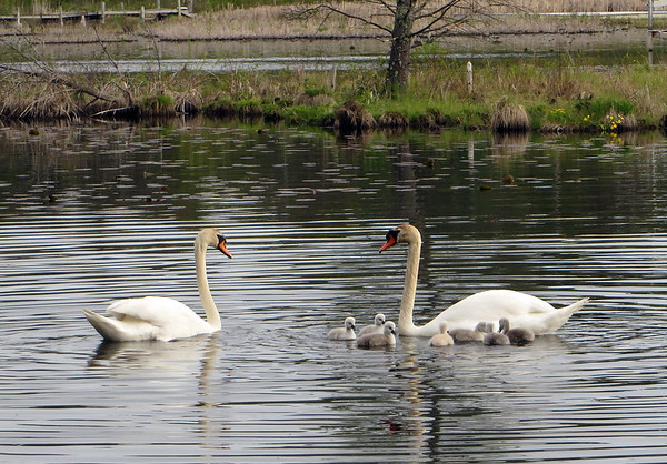 A pair of swans swim near Torch Lake with their seven cygnets in May. Photo by Loretta Grobe.