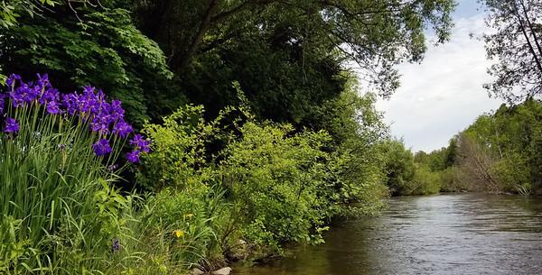 Wild iris on the Boardman River. Photo by Jeff Kessler.