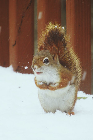 A squirrel searches in a snowy backyard. Photo by Michael Novak.