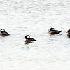 Hooded Mergansers, three males and one female, drift on the north end of Torch Lake. Photo by Lynne Agar.