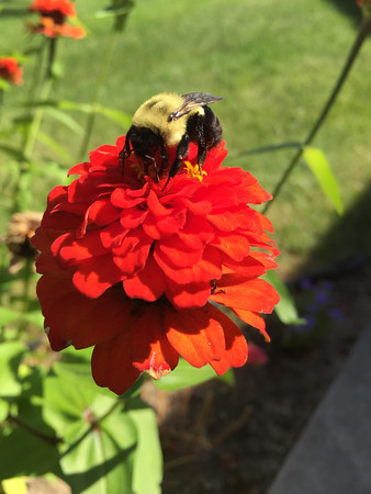 A bee rests on a fower. Photo by Becky Comstock.