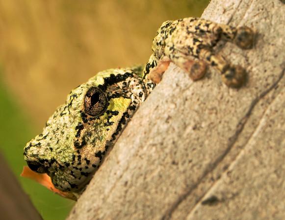 tcrGOeyes frog 0826