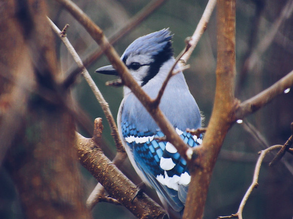 A bluejay chirps on a branch. Photo by Michael Novak.