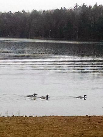 Merganser ducks on Starvation Lake. Photo by Tina Reed.