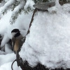 Chickadee lunch time in Bingham Township. Photo by Butch Waisanen.