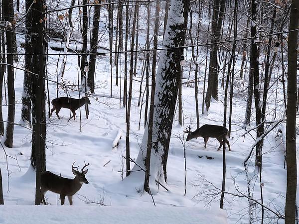 Three bucks in a Cedar backyard. Photo by John Lievense.