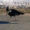 A turkey walking. Photo by Tina Reed.