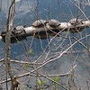 "A turtle ""log"" on Boardman Lake. Photo by Keli Hagan."