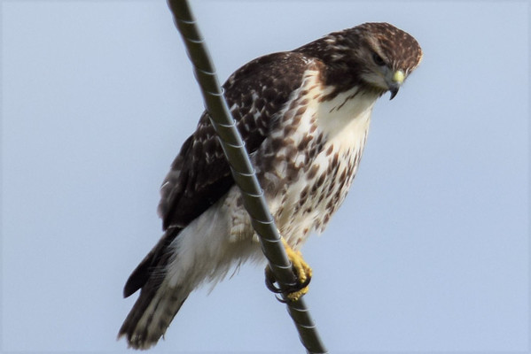 A hawk perches on a wire in Lake Leelanau. Photo by Jennifer Grochowalski.