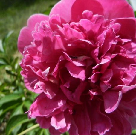 A pink peony. Photo by Lynn Huffman.