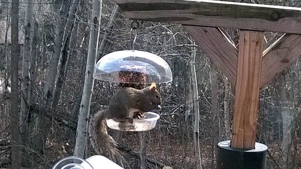 A squirrel steals birdseed in Northport. Photo by Don Montie.