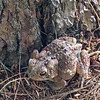 A toad camoflagues in Acme. Photo by Tina Reed.