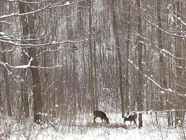 Deer in the snowy woods. Photo by Gary Keyes.