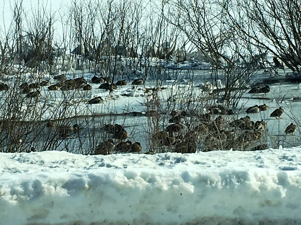 Mallards find open water and resting area on West Bay at the corner of M-72 and M-22. Photo by Dan Baldwin.