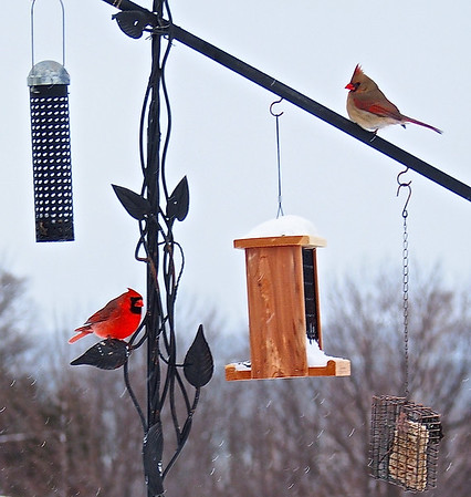 A cardinal couple. Photo by Cathy McKinley.