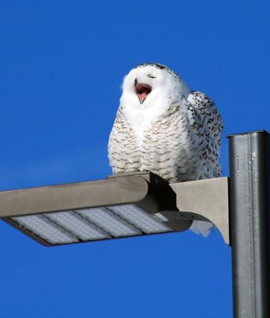 A snowy owl basks in the sun near Wuerful Park in Traverse City. Photo by Jan Zolik.