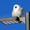 A snowy owl basks in the sun near Wuerful Park in Traverse City. Photo by Jan Zolik.