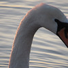 A swan is ready for its closeup at East Bay Park. Photo by Michael Novak.