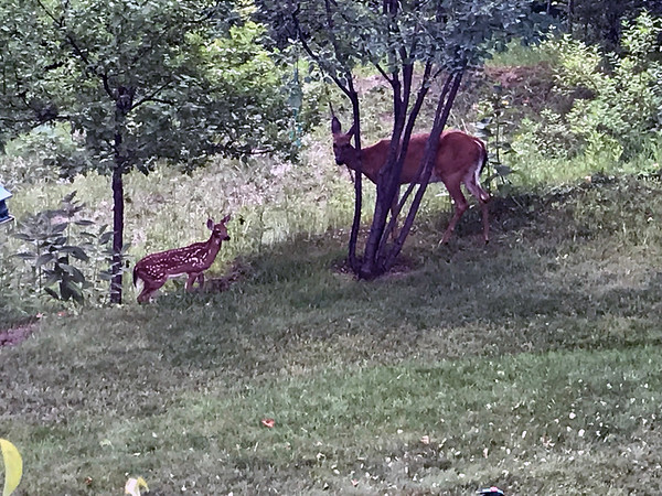 A doe and fawn in Mapleton. Photo by Don Conway.