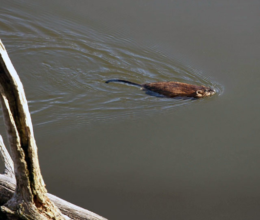 A muskrat swims in the Boardman River. Photo by Priscilla Ware.